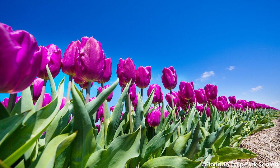 Floriade Expo 2022 – Floriade Tulpen Pink