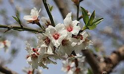Flugreise - Mallorca zur Mandelblüte