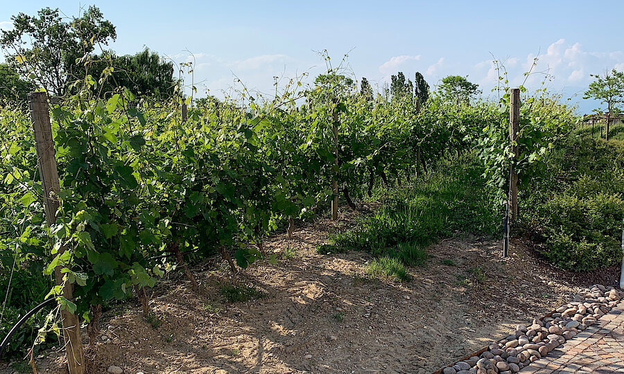 Lugana Weinreise Gardasee – Weinreben bei Santa Maria di Lugana