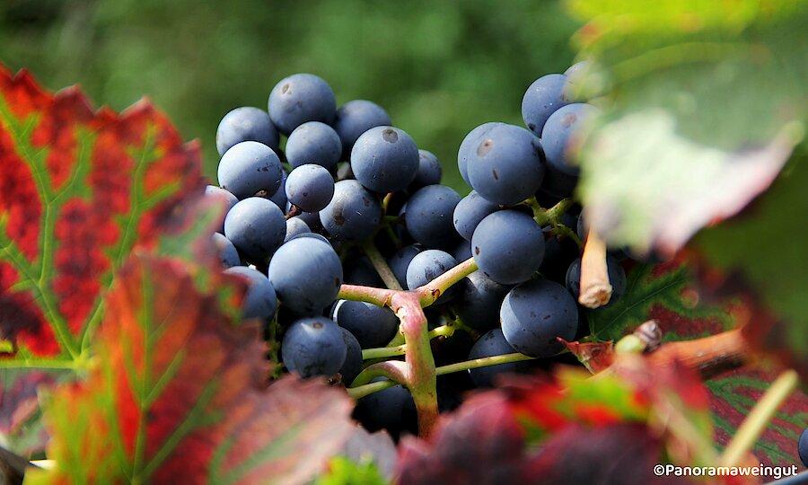 Schwarzwald & badischer Wein – Panoramaweingut Weintrauben