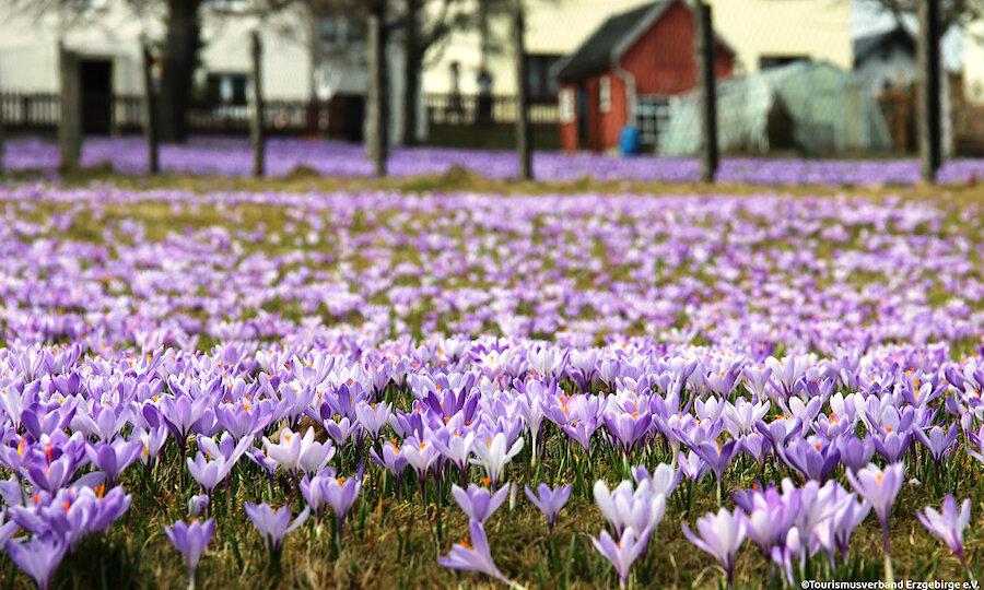 Frühling im Erzgebirge – Erzgebirge Krokuswiesen Drebach